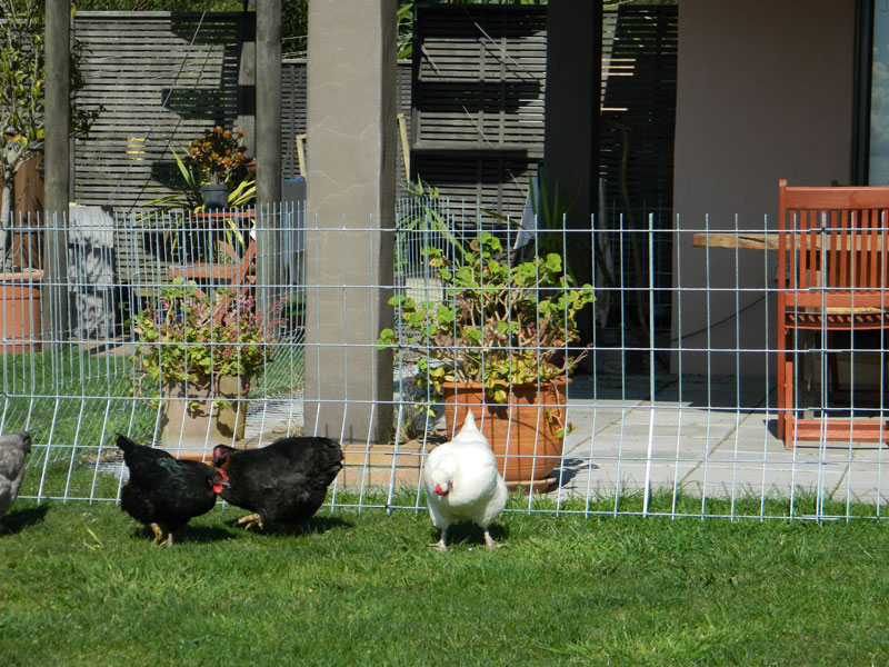Picture of: Great Chicken Fence Ideas Design